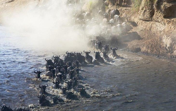 עדר נודד ודוהר דרך נהר