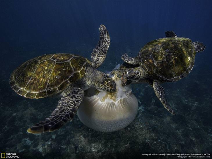 צבי ים צדים מדוזה