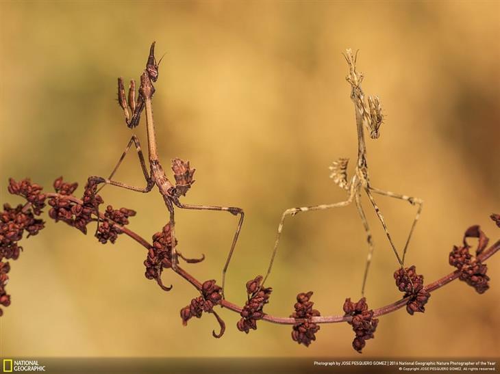 שני גמלי שלמה על ענף