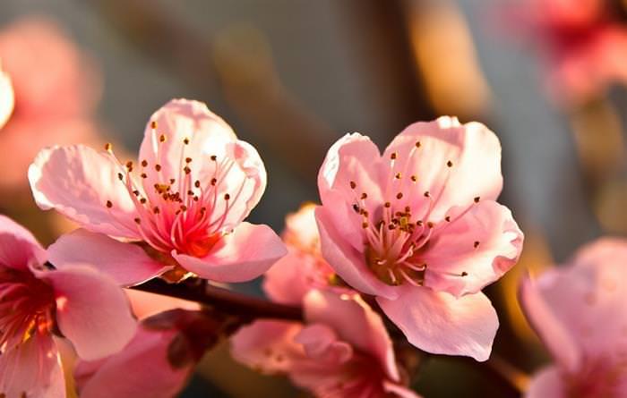 פרחי עצי פרי