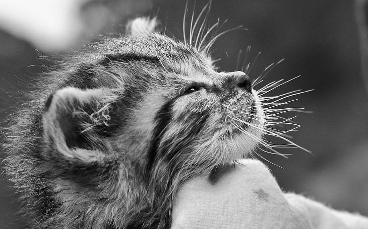 יתרונות בריאותיים של מגדלי חתולים:  ראש של חתלתול