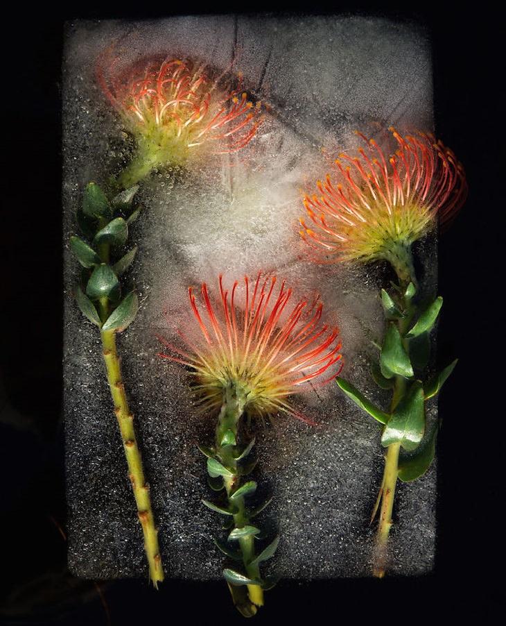 פרחים בצבע כתום בבלוק של קרח