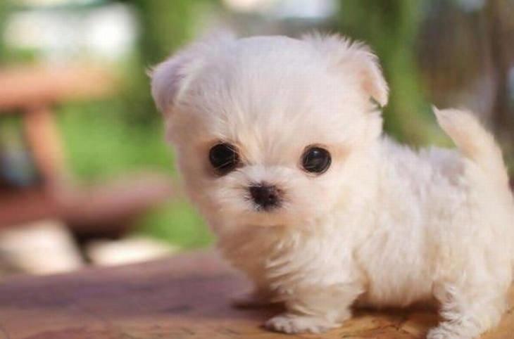 גור כלבים שנראה כמו בובה