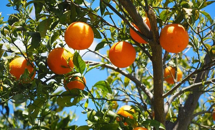 עץ עם תפוזים