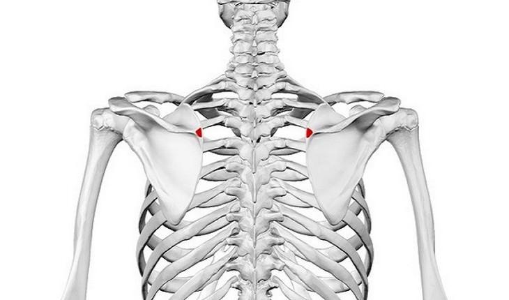 מחלות שכאבי גב מעידים עליהן: איור של שלד עם מיקוד על אזור החזה