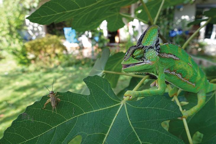 זיקית מסתכלת על חרק