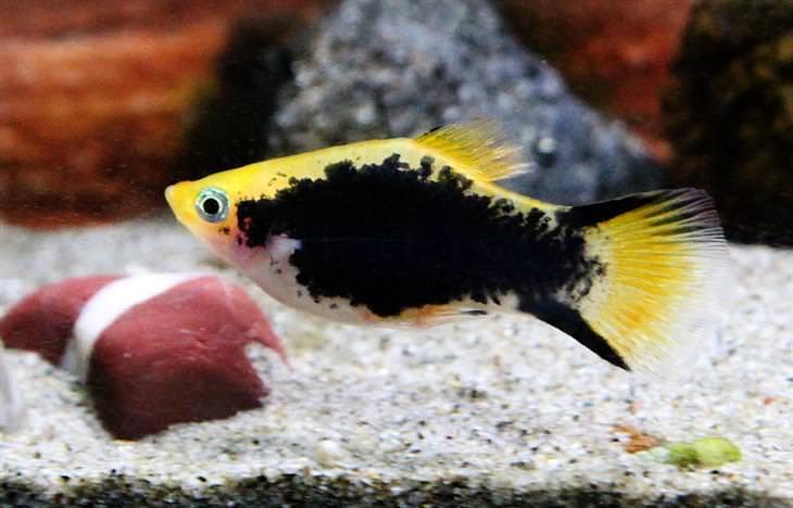 דג פלטי כתמים
