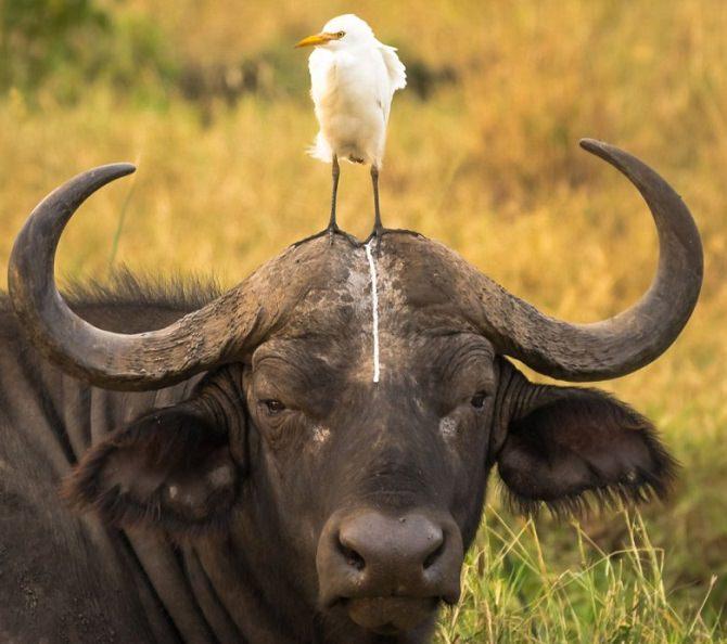 באפלו שציפור עומדת עליו