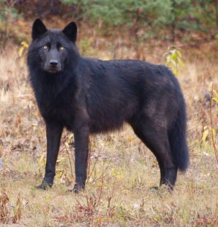 זאב שחור
