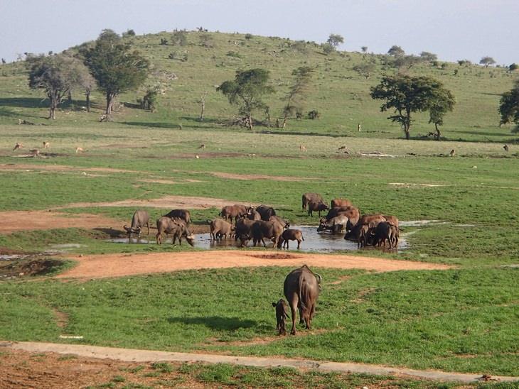 תאואים שותים ממאגר מים קטן בטבע בקניה