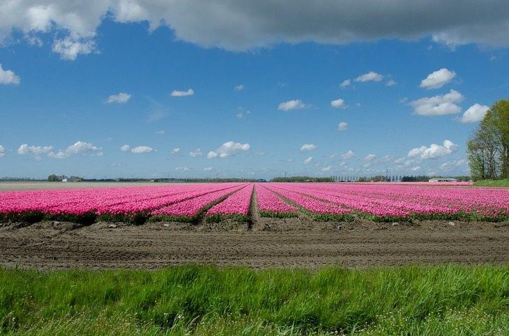 שדות צבעוניים בהולנד