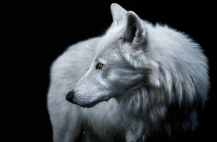 זאב לבן