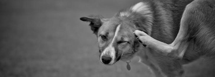 כלב מתגרד