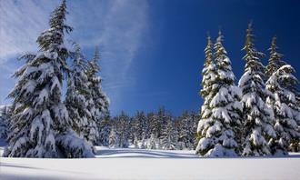 עצי אשוח מכוסים בשלג