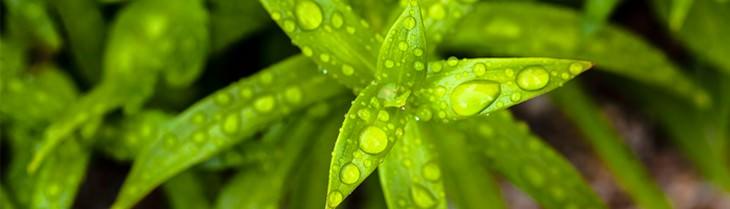 צמח רטוב