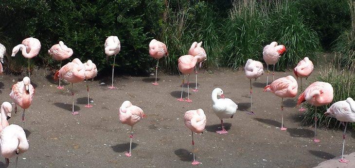 ברווז עומד על רגל אחת ליד ציפורי פלמינגו