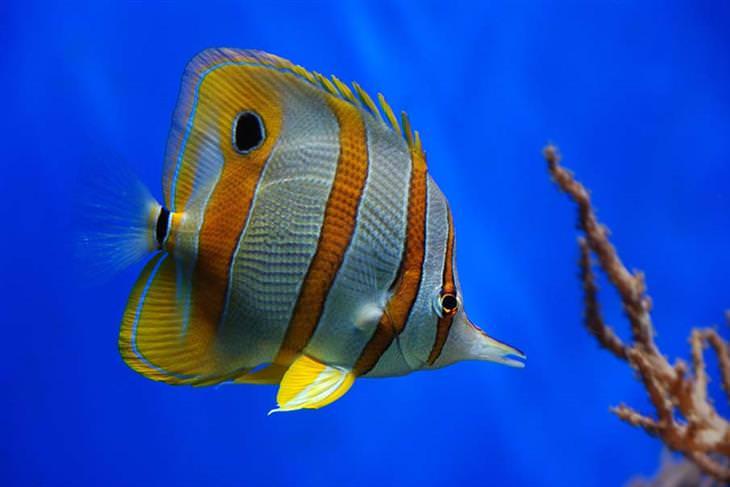 דג פרפר נחושתי
