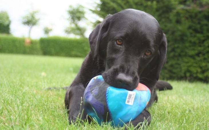 כלב לועס כדור