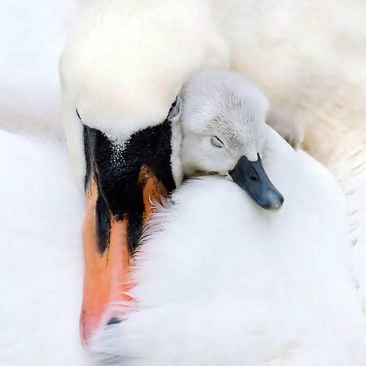 אמהות ציפורים והגוזלים שלהן