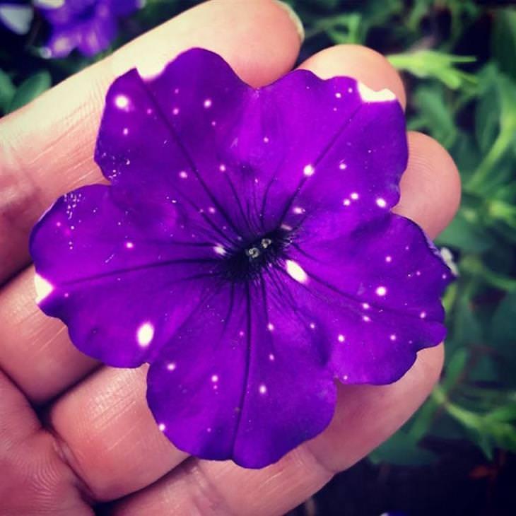 פרחי פטוניה גלקסיה