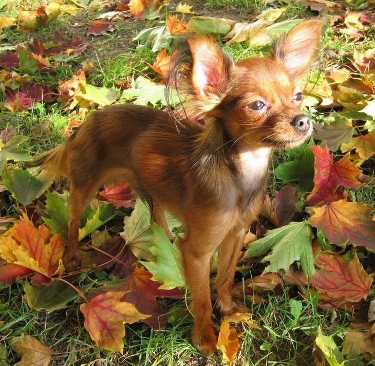 כלבים זעירים: טוי טרייר רוסי