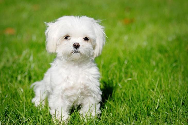 כלבים זעירים: מלטזי