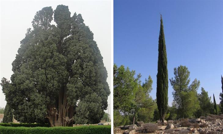 עצים בישראל: ברוש מבויית ובראש בר
