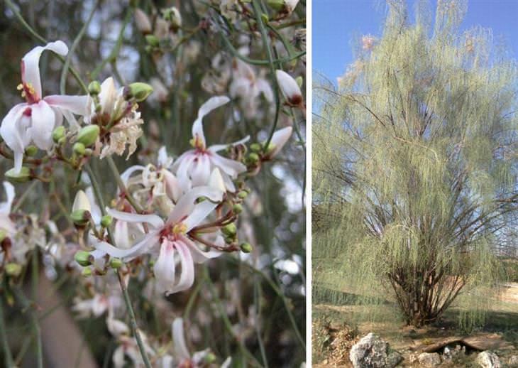 עצים בישראל: מורינגה רותמית והפריחה שלה