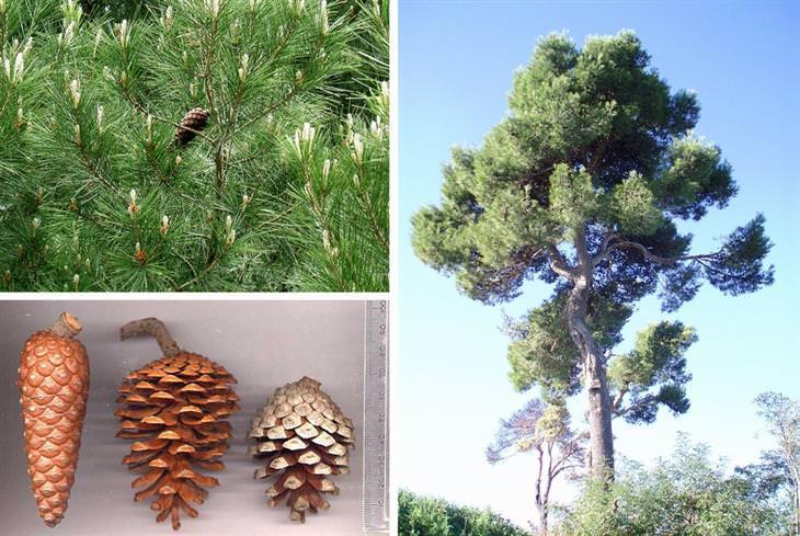 עצים בישראל: אורן ירושלים מרחוק ומקרוב, ואצטרובלים בגדלים וצורות שונים