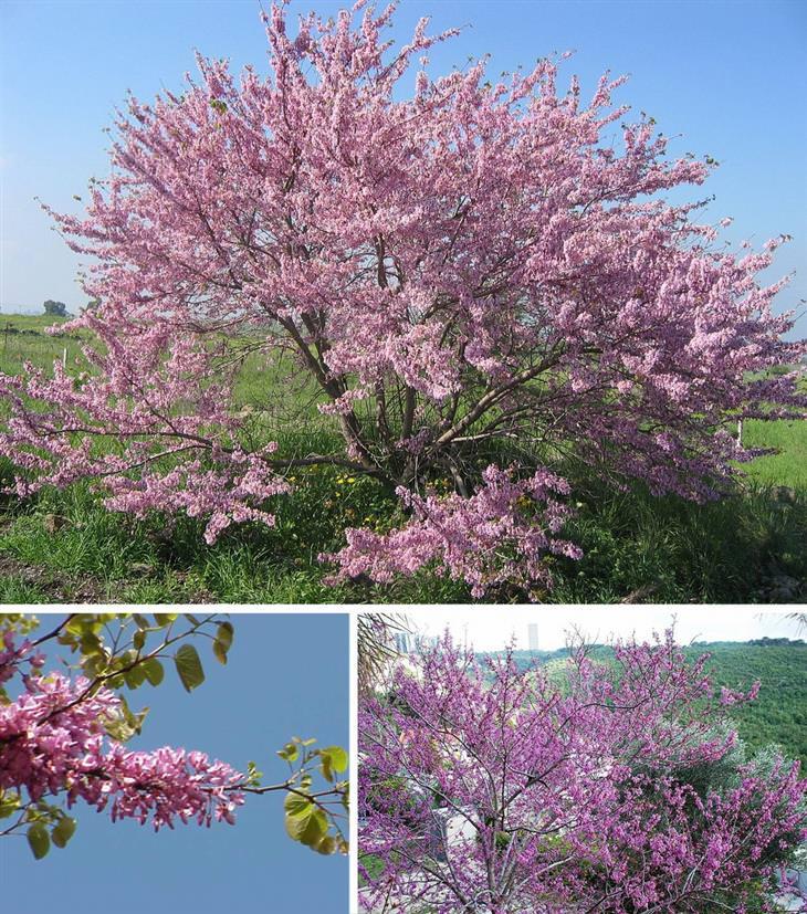 עצים בישראל: כליל החורש והתפרחת הוורודה שלו