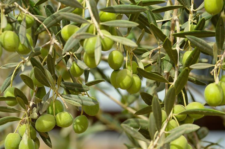 יתרונות בריאותיים של זיתים: זיתים על עץ