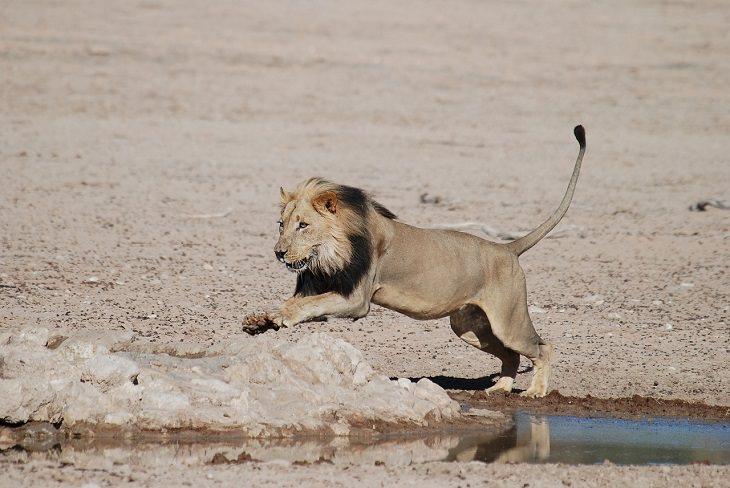 בעלי החיים המהירים בעולם: אריה