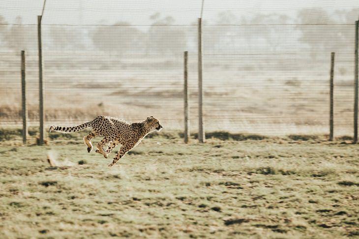 בעלי החיים המהירים בעולם: צ'יטה