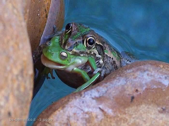תמונות נדירות מהעולם, קרפדה, צפרדע