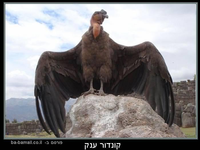 עופות דורסים, טבע, קונדור ענק