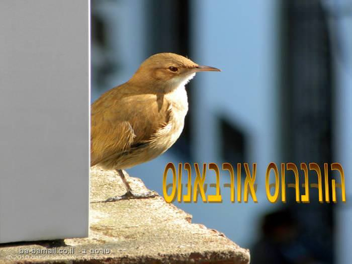 היא לא מכינה פיתות, אבל הציפור הזאת גרה בטאבון