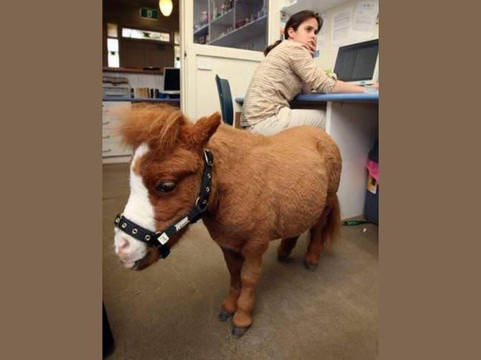 רוצים לגדל סוס בבית? במקרה של קודה זה אפשרי